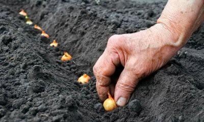 Когда сажать лук под зиму в 2018 году в Подмосковье