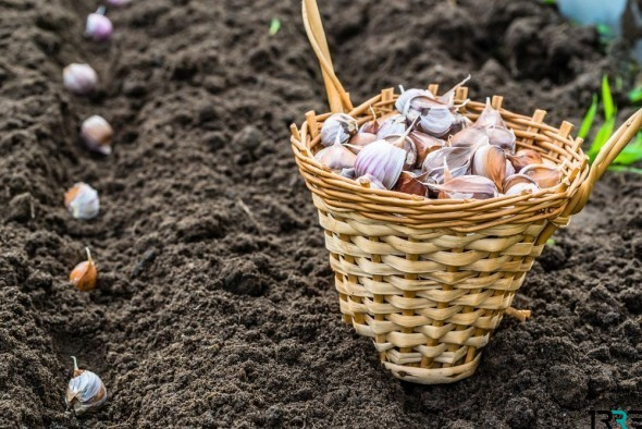 Благоприятные дни для посадки чеснока в октябре 2018 года по лунному календарю помогут огородникам летом собрать хороший урожай