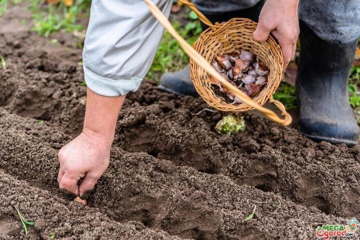 Календарь работ на огороде, октябрь, подзимняя посадка чеснока и лука, посев овощей и зелени