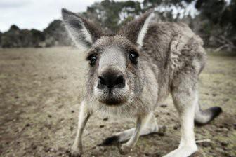 Палеонтологам удалось выяснить происхождение кенгуру