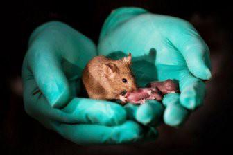 Ученые: Мыши с двумя отцами впервые родились живыми