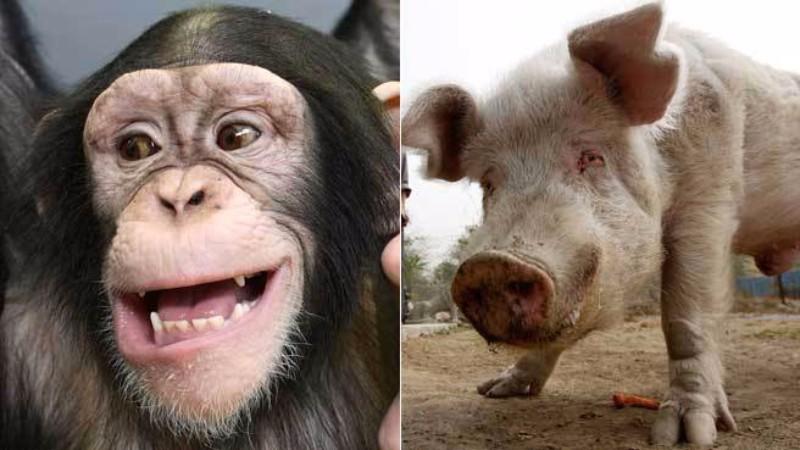 Американский ученый заявил, что люди произошли от свиньи и шимпанзе
