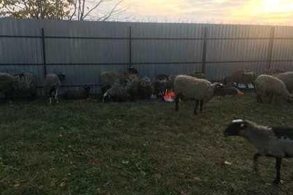 Десятки овец умерли в украинском порту из-за бюрократии