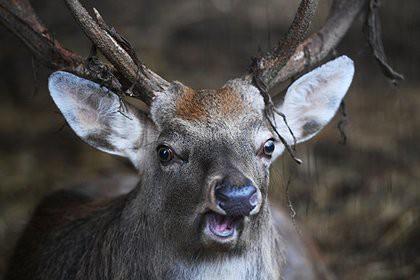 На Таймыре запретят срезать рога с дикого северного оленя