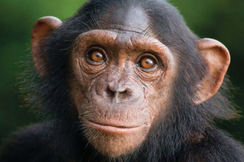 Дружелюбие увеличивает продолжительность жизни шимпанзе