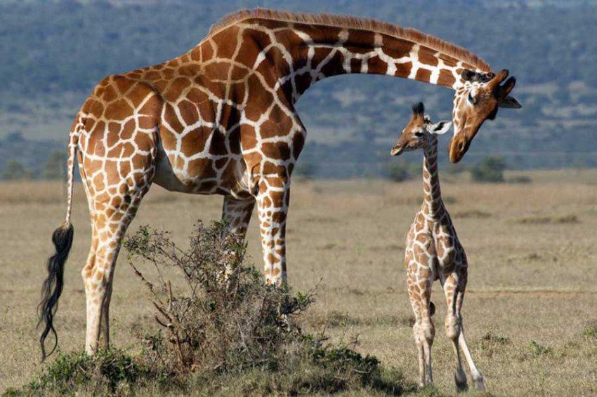 Американские ученые выяснили, для чего жирафам рисунок на коже