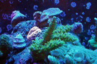 Учёные обнаружили у кораллов гены иммунитета