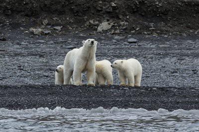 На Чукотке около 20 белых медведей с медвежатами окружили село