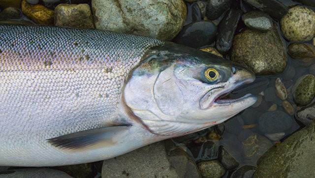 """Эксперт: США добавили проблем рыбакам, """"поделившись"""" лососем с Россией   Свежие новости"""