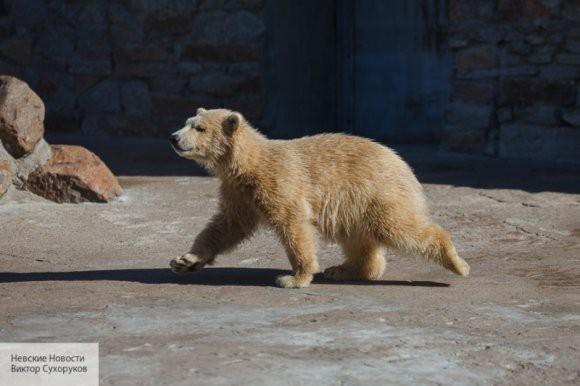Белые медведи беспокоят жителей чукотского села