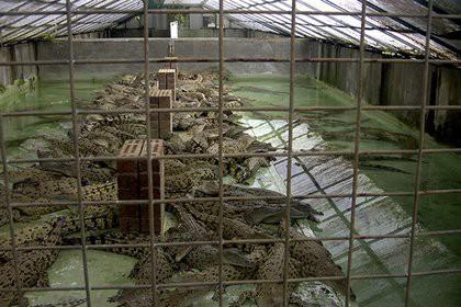 Американец прыгнул в бассейн с крокодилами и пожалел