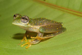 Ученые с помощью гормонов отрастили ампутированную лапу лягушке