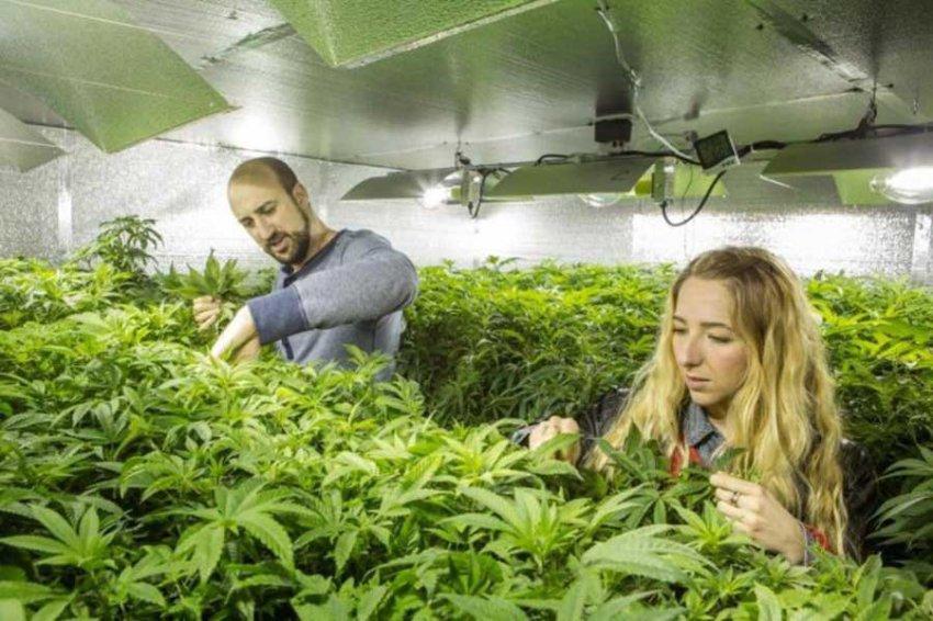 В Великобритании марихуану признали лекарством