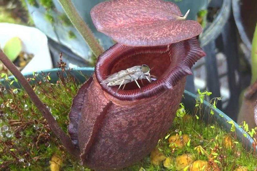 Ученые: Хищные растения помогли нанороботам пробираться внутрь глаза