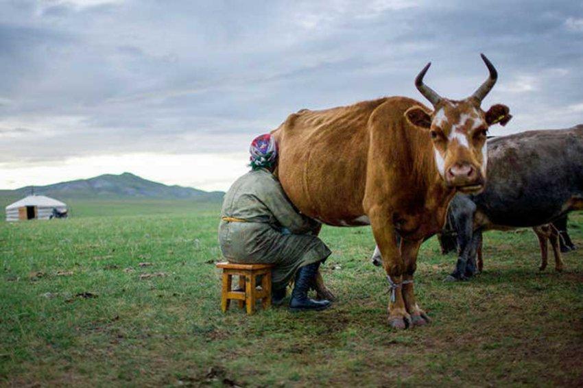 Ученые: Молочные продукты в Восточной Азии появились 3300 лет назад