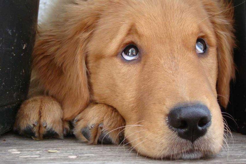 Японцы создали систему управления собакой с помощью лазеров