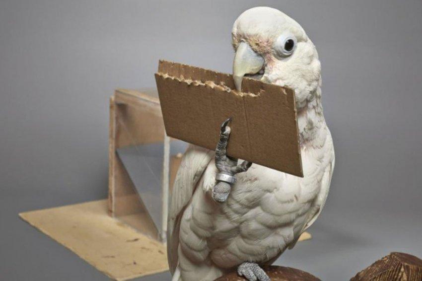 Какаду Гоффина умеют создавать и использовать инструменты