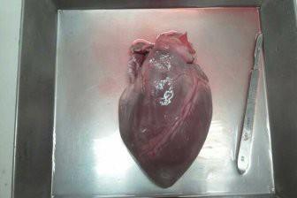 Павианам успешно пересадили сердца свиней