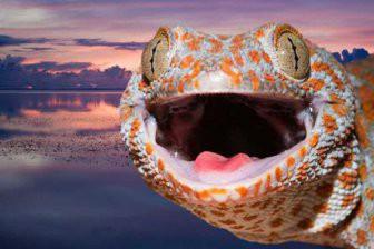 Ученые узнали, как гекконы бегают по воде