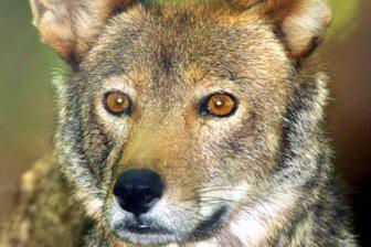 Обнаружены загадочные родственники вымерших рыжих волков