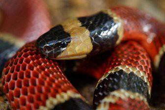 В желудке змеи обнаружили рептилию неизвестного вида