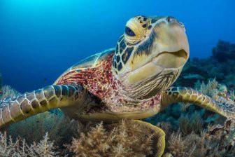 Самцы черепах лишатся полового органа из-за глобального потепления