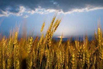 Европейская пшеница стала климатически неустойчивой из-за селекции