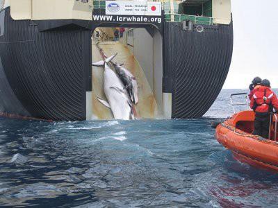 Япония решила выйти из Международной комиссии по промыслу китов