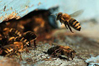 Пчелы умеют считать, пользуясь всего четырьмя клетками мозга