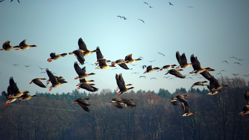 Начался сдвиг полюсов: птицы стали вести себя странно
