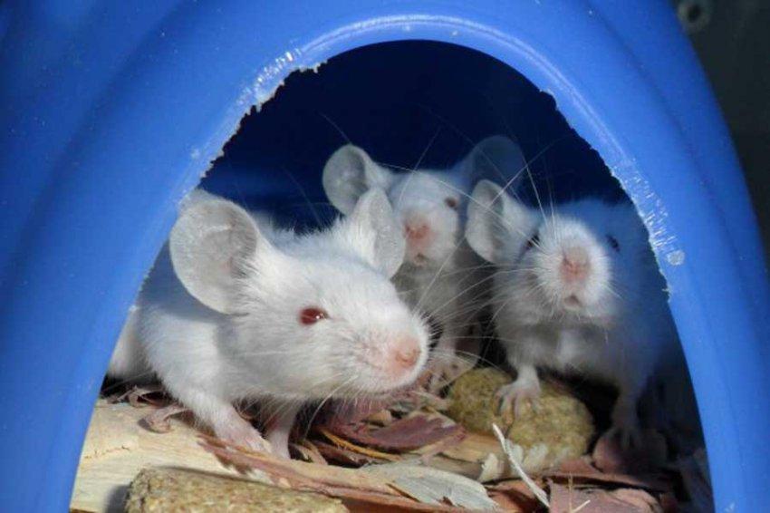 Учёные выяснили, почему самцы мышей нападают на детенышей