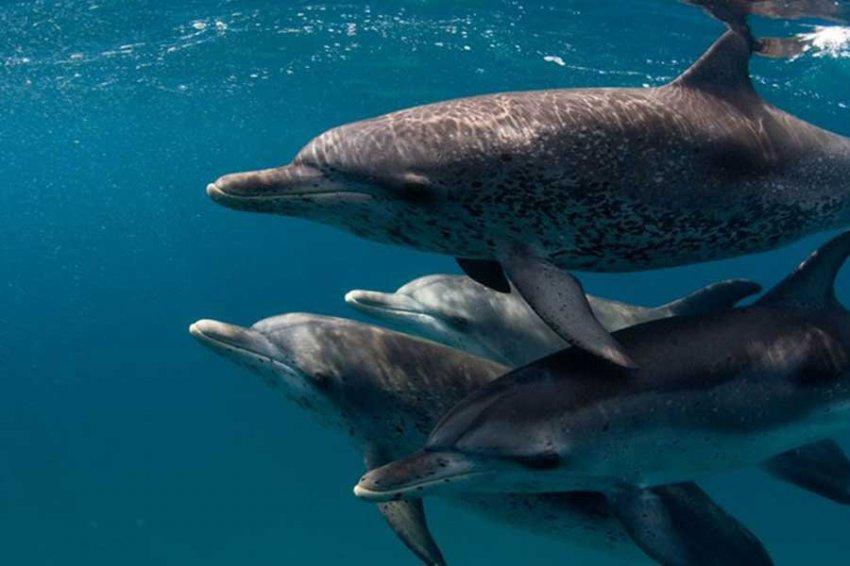"""Ученые изучили диалекты в """"речи"""" черных дельфинов"""
