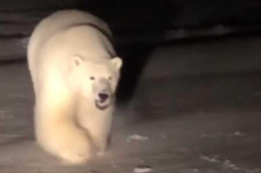 На Аляске белый медведь подружился с собакой