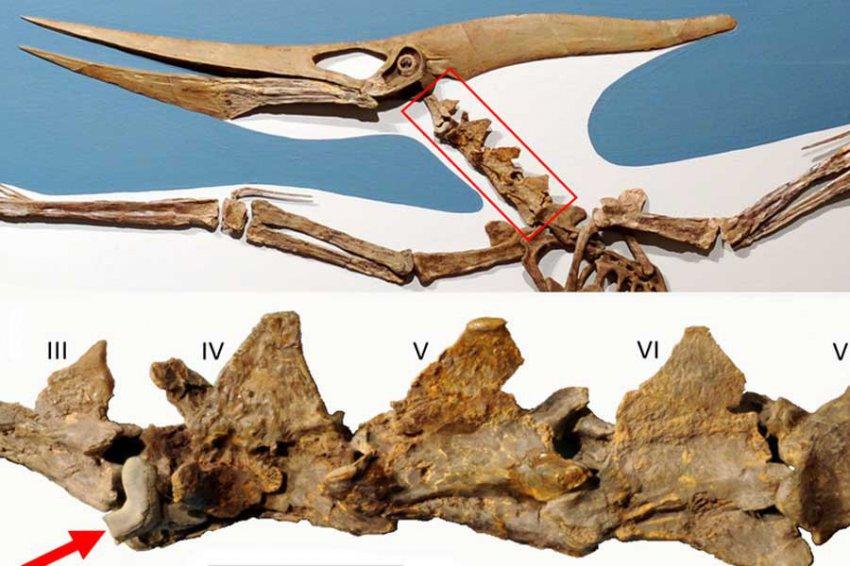 Учёные узнали, откуда в костях у птеранодона зуб вымершей акулы