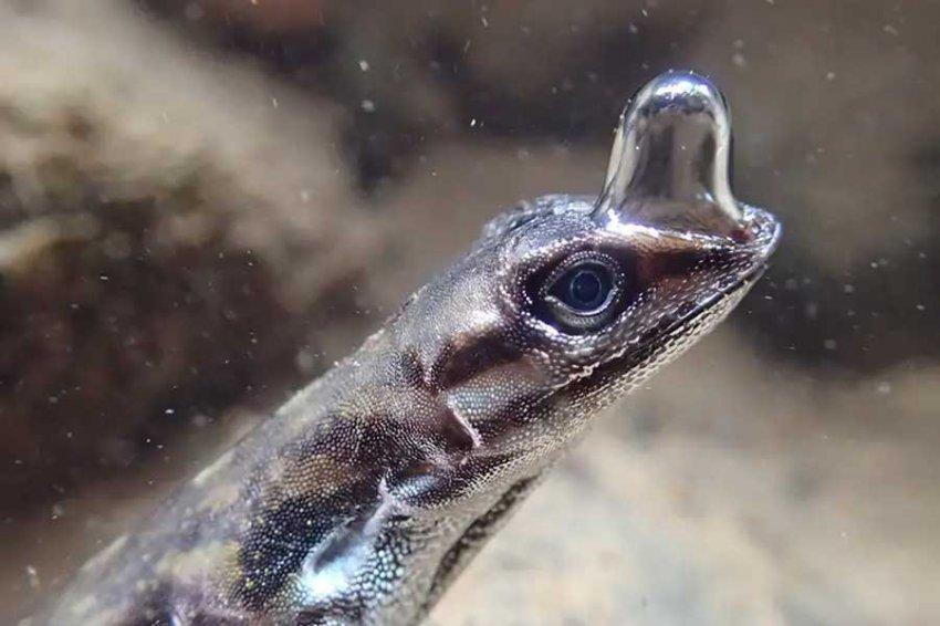 Обнаружены ящерицы, способные дышать под водой