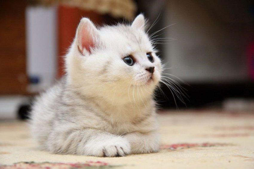В Британии запретили через посредников продавать котят и щенков