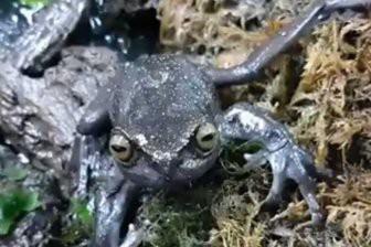 В Андах обнаружены лягушки с аномальными лапами