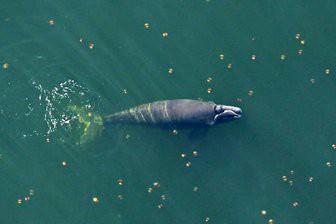 Учёные нашли детеныша редкого гладкого кита