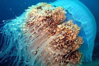 Рост популяции медуз из-за загрязнения океана разрушает экосистемы