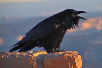 Учёные: Вороны умеют на глаз определять вес объекта