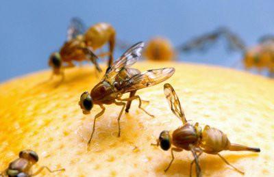 До России добралась смертельно опасная муха-горбатка – вместе с мандаринами