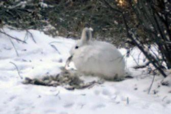 Поедающие падаль зайцы-беляки впервые попали на видео