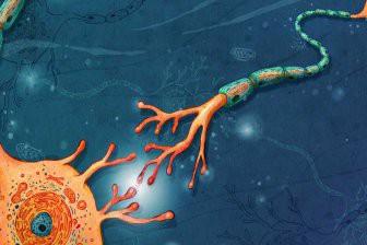 У людей с аутизмом иначе растут нейроны