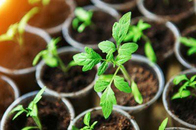 Советы дачникам: томаты на рассаду можно посадить уже в январе
