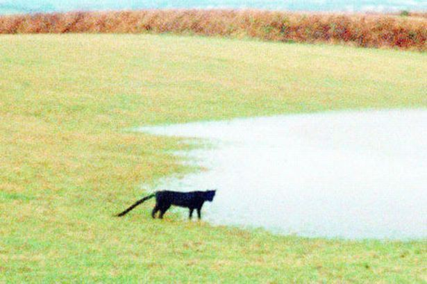 На британца из Корнуолла напала огромная черная кошка