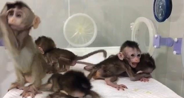 В Китае клонировали 5 обезьян с измененным ДНК