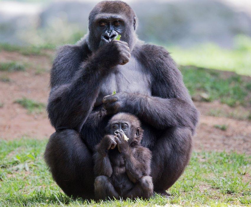 У горилл начали встречаться мутации в виде перепонок между пальцами