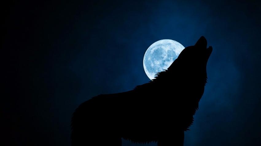Стало известно, почему волки и собаки воют на луну