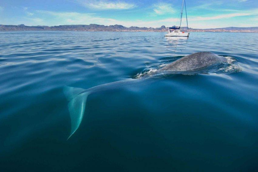 Синие киты: самые огромные существа на Земле