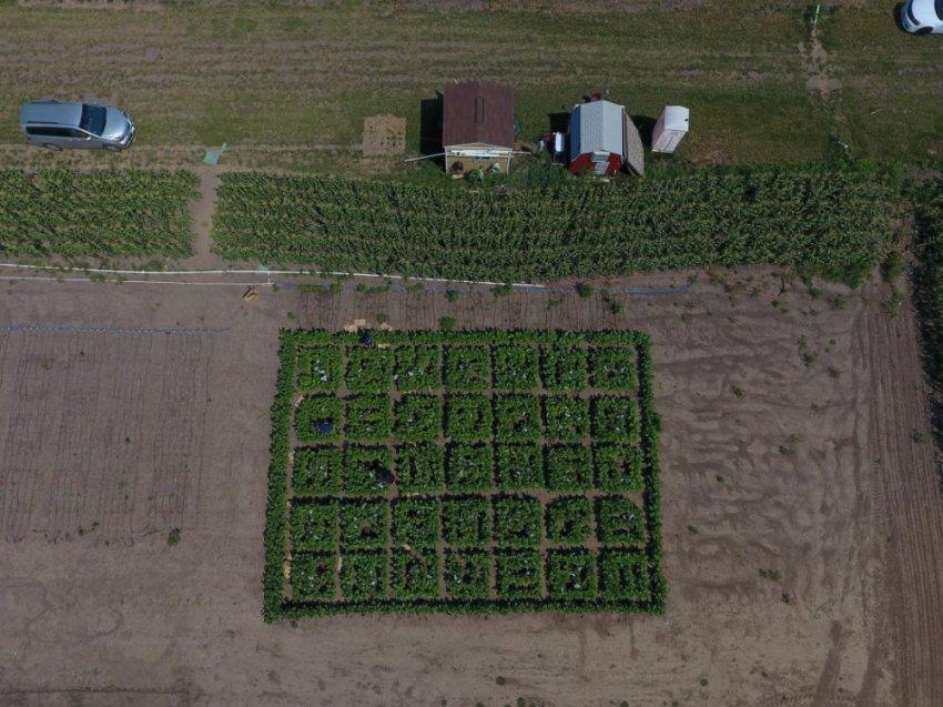 В обход фотосинтеза: как повысили уражайность на 40?